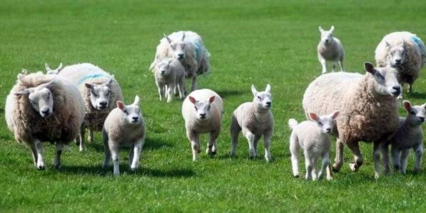 Dog Attacks On Livestock Fall Across North Wales