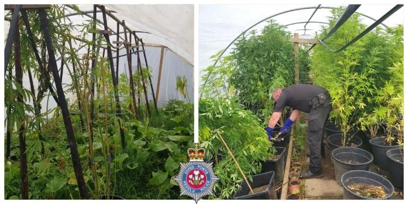 Police Seize 100 Cannabis Plants From Carmarthenshire Farm